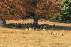 Autumn landscape with sheeps Stock Photos