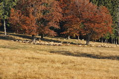 Autumn landscape and sheeps. Sheeps in beautiful farmland near autumn hills Stock Photography