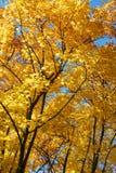 Autumn Landscape Siluette degli alberi e del fogliame arancio di autunno luminoso contro un chiaro cielo blu fotografia stock libera da diritti