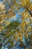 Autumn Landscape Siluette degli alberi e del fogliame arancio di autunno luminoso contro un chiaro cielo blu immagine stock