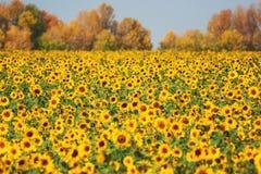 Autumn landscape sunflowers field Stock Photos