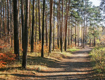 Autumn landscape. Sunlit autumn pine forest. The play of light and shadows from trees on forest road Royalty Free Stock Image