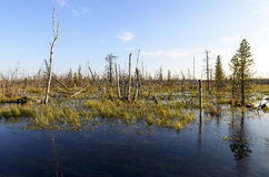 Autumn landscape swamps in northern Russia Royalty Free Stock Photos
