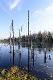 Autumn landscape swamps in northern Russia Stock Image