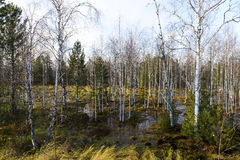 Autumn landscape swamps in northern Russia Stock Photography