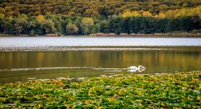 Autumn landscape with swan drinking and waterlilies leaves stock photography