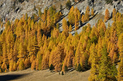 Autumn landscape in Switzerland. Autumn landscape with yellow larch trees in a Swiss mountain Royalty Free Stock Photography
