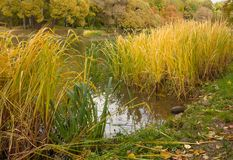 Autumn landscape. Tall yellow grass on pond in park. Sad and at the same time bright fragment of autumn stock image