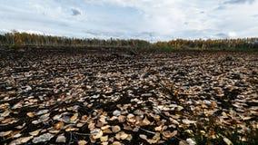 Autumn Landscape Tarde, pântano e floresta no fundo latvia Lama e solo molhado enlameado fotografia de stock royalty free