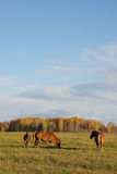 Autumn landscape with three horses Stock Photos