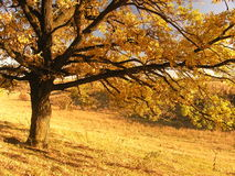 Autumn landscape with tree 2. A colorful autumn day. Walking in the gold field Royalty Free Stock Photo