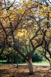 Autumn landscape with a tree covered with yellow leaves stock photo