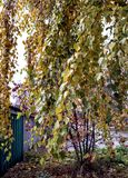 Birch branch densely covered with yellow leaves stock photo