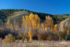 Yakutia. autumn landscape with birch grove trees and mountains royalty free stock images