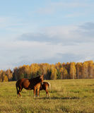 Autumn landscape with two horses Stock Photo