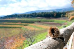 Autumn landscape of vineyard with wood and italian mountains Royalty Free Stock Image