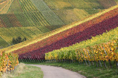 Autumn landscape with vineyards and wine grapes Stock Photos