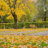 Autumn landscape. Warm autumn sunny day. Old bench under golden maple in sunny day, many fallen foliage. Seasons. Autumn landscape. Warm autumn sunny day. Old Royalty Free Stock Photo