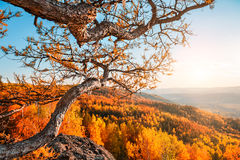 Autumn landscape. The wish tree at the top of the mountain. Autumn landscape. Fall scene. Larch tree in the forest in the mountains Royalty Free Stock Photos