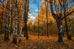 Free Autumn Landscape With Silver Birches Royalty Free Stock Photo - 61610855
