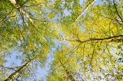 Autumn landscape witn birches in sunlight Stock Photos