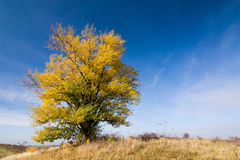 Autumn landscape with yellow-colored aspen Stock Image