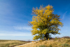 Autumn landscape with yellow-colored aspen Stock Photos