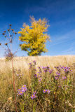 Autumn landscape with yellow-colored aspen Royalty Free Stock Images