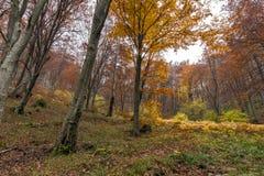 Autumn landscape with Yellow leafs of beech, Vitosha Mountain, Bulgaria Royalty Free Stock Photo