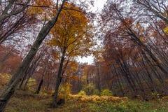 Autumn landscape with Yellow leafs of beech, Vitosha Mountain, Bulgaria Stock Photo