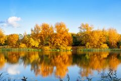 Autumn landscape, yellow leaves trees on river bank on blue sky and white clouds background on sunny day, reflection in water. Autumn landscape, yellow leaves royalty free stock images