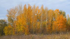 Yellow and orange leaves on the trees in a small grove stock footage