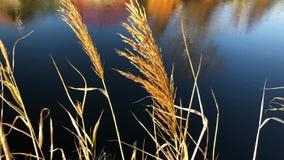 Autumn Landscape Yellow Reed på bakgrunden av floden lager videofilmer