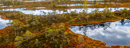 Autumn landscape of yellow swamp. With ponds Stock Images