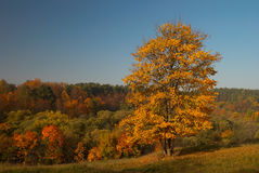 Autumn landscape with yellow tree. This picture depicts autumn landscape with yellow tree in October Stock Images