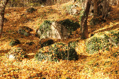 Autumn landscape. Yellow tree leaves mixed with green leaves in the forest Stock Photography
