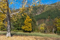 Autumn Landscape with yellow tree near Pancharevo lake, Sofia city Region, Bulgaria. Amazing Autumn Landscape with yellow tree near Pancharevo lake, Sofia city royalty free stock photography
