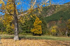 Autumn Landscape with yellow tree near Pancharevo lake, Sofia city Region, Bulgaria. Amazing Autumn Landscape with yellow tree near Pancharevo lake, Sofia city stock images