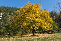Autumn Landscape with yellow tree near Pancharevo lake, Sofia city Region, Bulgaria. Amazing Autumn Landscape with yellow tree near Pancharevo lake, Sofia city royalty free stock photos
