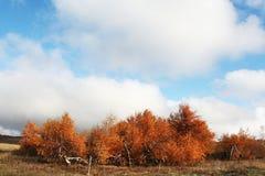 Autumn landscapes. Yellow birch in autumn season Royalty Free Stock Photography