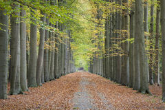 Autumn lane. Beautiful lane with tall trees on both sides of the pathway in autumn, leading to a colorful and symmetrical composition Stock Photo