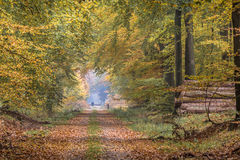 Autumn lane with towering Beech trees royalty free stock photo