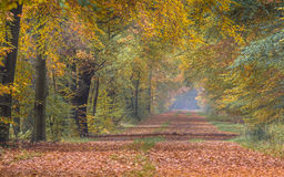 Autumn lane with yellow Beech trees Royalty Free Stock Images