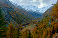 Autumn lanscape in the Alp. Nature habitat with autumn orange larch tree and rocks in background, National Park Gran Paradiso. Italy royalty free stock photos