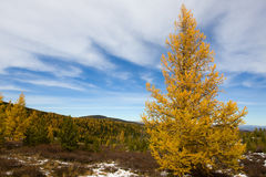 Autumn larch Stock Photo