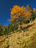 Autumn larch tree in Alps Royalty Free Stock Image