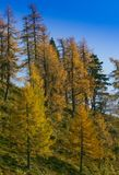 Autumn larch Stock Images