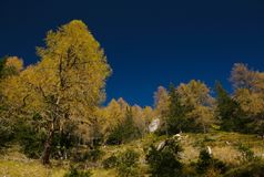 Autumn larch trees in Alps Stock Images