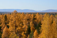 Autumn larch. Forest on the background of blue mountains royalty free stock images