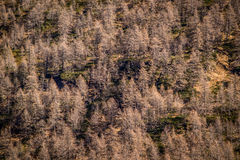 Autumn larch forest Stock Photos